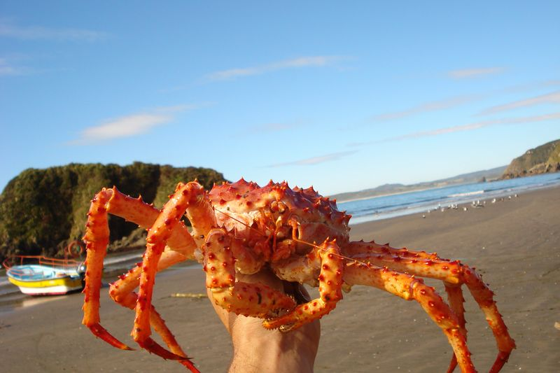 chiloe king crab